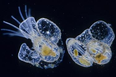 Marine Plankton (Electra Pilosa) days after settlement, x  -  D.P. Wilson/ FLPA