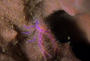 Hairy Squat Lobster (Lauriea siagiani), Pulau Abadi, Lembeh Straits, Sulawesi, Indonesia  -  Colin Marshall/ FLPA