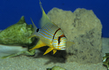 Majestic Snapper (Symphorichthys spilurus) Pacific  -  Linda Lewis/ FLPA