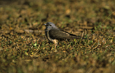 Brush Cockoo (Cacomantis variolosus) On ground, Northern Territory, Australia  -  Neil Bowman/ FLPA