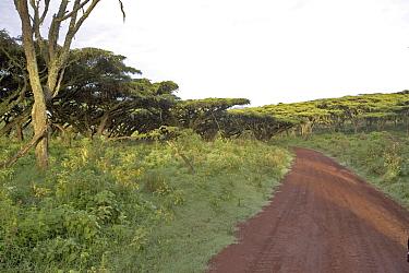 Flat top Acacia, Road to Ngorongoro Crater floor, Acacia Abyssinica  -  David Hosking/ FLPA