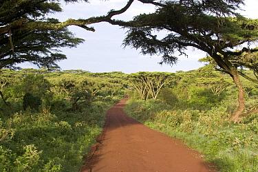 Flat top Acacia, Road to Ngorongoro Crater floor, Acacia Abyssinica, Tanzania  -  David Hosking/ FLPA