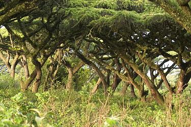 Flat top Acacia,Ngorongoro Crater, Tanzania, Acacia Abyssinica  -  David Hosking/ FLPA