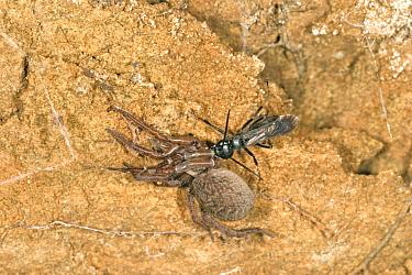 Spider Wasp (Anoplius nigerrimus) With Spider (Trochosa terricola) prey  -  Jeremy Early/ FLPA