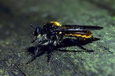Mydas Fly (Fam. Mydidae) Adult, Michigan  -  Larry West/ FLPA