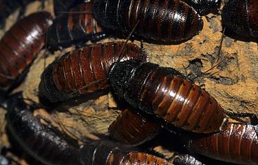 Hissing Cockroach (Gromphadorhina portentosa) Swarm  -  Linda Lewis/ FLPA