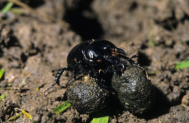 Minotaur Beetle (Typhaeus typhoeus) on dung, associated rabbits  -  Hugh Clark/ FLPA