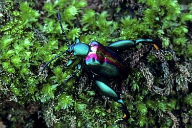 Emerald Leaf Beetle (Sagra bouqueti) Malaysia  -  Tony Wharton/ FLPA