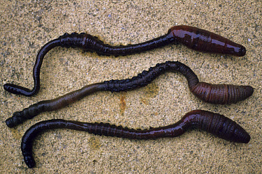 Lugworm (Arenicola marina) Three on sand  -  William J. Howes/ FLPA