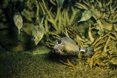 Common Trunkfish (Lactophrys trigonias) with Cowfish (Lactophrys tricornis)  -  D.P. Wilson/ FLPA