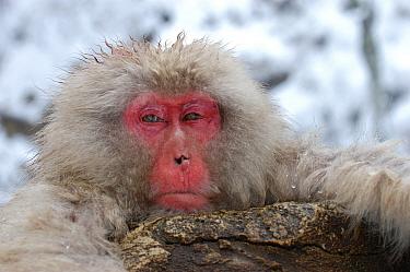 Japanese Macaque (Macaca fuscata) head, Resting at edge of hot spring, Nagano, Honshu, Japan  -  Malcolm Schuyl/ FLPA