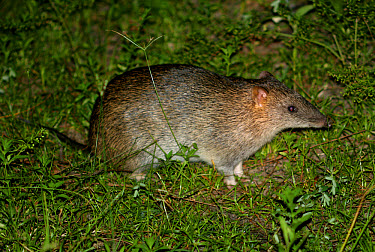 Northern Brown Bandicoot (Isoodon macrourvs) Adult in grassy area, South Stradbroke Island, Queensland  -  Neil Bowman/ FLPA