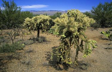 Chain-fruit Cholla (Opuntia fulgida) Saguara (East) State Park, Tucson outskirts, Arizona  -  Colin Marshall/ FLPA