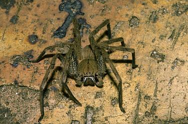 Hunting Spider (Palystes castaneus) Johannesburg, South Africa  -  Peggy Heard/ FLPA