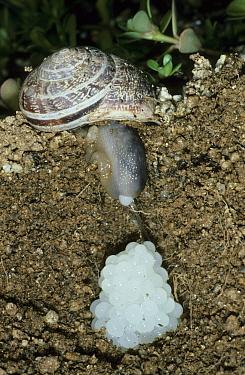 Snail (Otala punctata) laying eggs  -  B. Borrell Casals/ FLPA