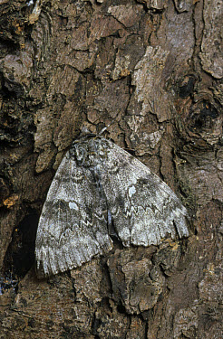 Clifden Nonpareil (Catocala fraxini) Adult on tree trunk, Norfolk, England  -  Robin Chittenden/ FLPA