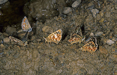 Carline Skipper (Pyrgus carlinae) Group drinking  -  B. Borrell Casals/ FLPA