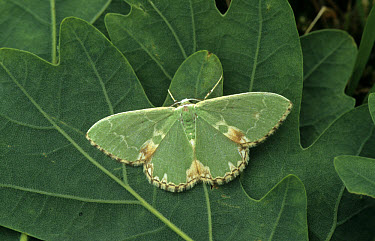 Blotched Emerald Moth (Comibaena pustulata) On green leaf  -  Ian Rose/ FLPA