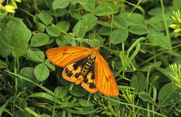 Clouded Buff Moth (Diacrisia sannio) Female  -  Ian Rose/ FLPA