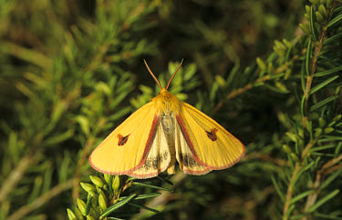 Clouded Buff Moth (Diacrisia sannio) Male on plant  -  Ian Rose/ FLPA