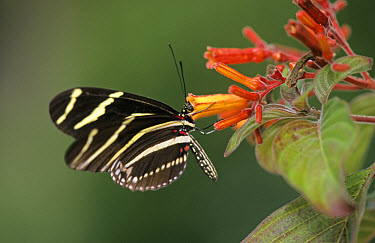 Zebra Butterfly (Heliconius charitonius) On flower, Florida  -  Jurgen and Christine Sohns/ FLPA