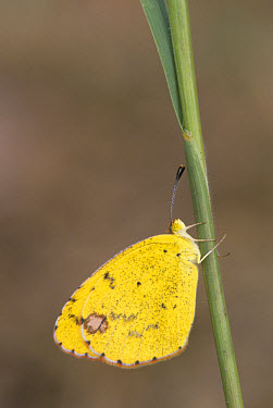 Little Yellow (Eurema lisa) Adult, Texas, U.S.A., November  -  Larry West/ FLPA