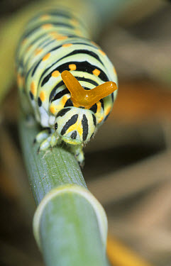 Oldworld Swallowtail (Papilio machaon) larva in defensive display, Scent gland (Osmeterium)  -  B. Borrell Casals/ FLPA