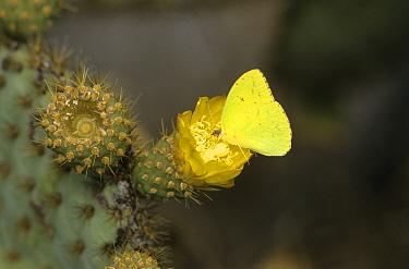 Galapagos Sulphur (Phoebis sennae marcellina) Feeding on Cacti flower, Urvina Bay, Galapagos  -  David Hosking/ FLPA