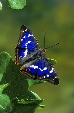 Purple Emperor (Apatura iris) wings open on oak leaf  -  Hugh Clark/ FLPA
