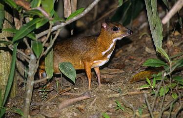 Lesser Malay Chevrotain (Tragulus javanicus) Malaysia  -  Eric Woods/ FLPA
