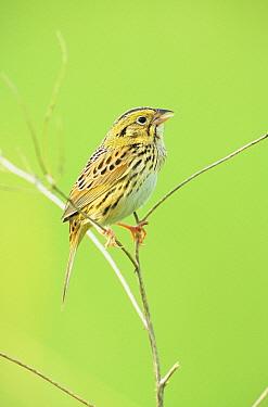 Henslow's Sparrow (Ammodramus henslowii) Perched on stem, Ohio  -  S & D & K Maslowski/ FLPA