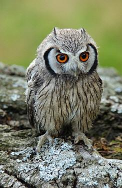 White-faced Scops Owl (Otus leucotis) Resting on lichen covered branch, Captive  -  Malcolm Schuyl/ FLPA