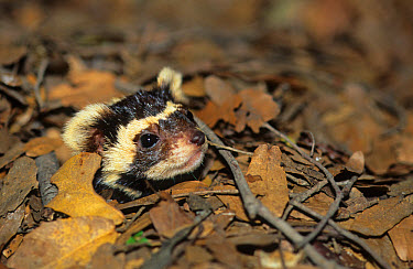 Marbled Polecat (Vormela peregusna) Head peering through dead leaves  -  Yossi Eshbol/ FLPA