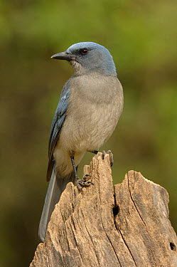 Mexican Jay (Aphelocoma ultramarina) Adult perched, Arizona  -  Malcolm Schuyl/ FLPA