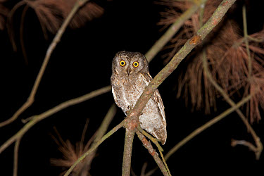 Oriental Scops Owl (Otus sunia) Dark morph at night, New Territories, Hong Kong, China  -  John Holmes/ FLPA