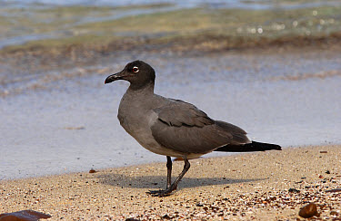 Lava Gull (Larus fuliginosus) adult walking on beach, Galapagos Islands, Ecuador  -  Malcolm Schuyl/ FLPA