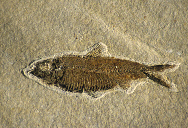 Fossils, Fish (Knightia sp) From Wyoming, U.S.A., million years old  -  Mark Newman/ FLPA