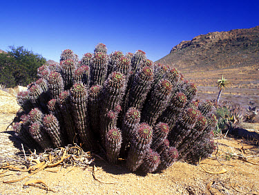 Spiny Euphorbia (Euphorbia stellaspina) Springbok, Namaqualand, South Africa  -  Chris Mattison/ FLPA