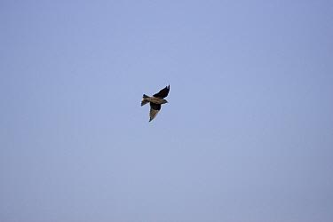 Galapagos Martin, Progne modesta modesta, flying Galapagos  -  David Hosking/ FLPA