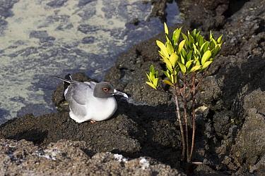 Swallow-tailed Gull, Larus furcatus, Galapagos islands, resting on lava rock by white Mangrove, Laguncularia racemosa  -  David Hosking/ FLPA