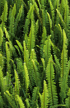 Fern (Nephrolepis sp) close-up of fronds, Cape Town, South Africa  -  Chris Mattison/ FLPA