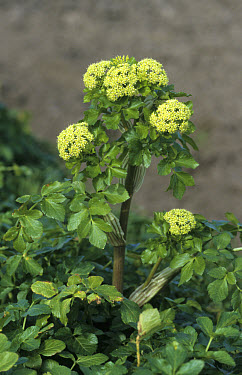 Horse parsley (Smyrnium olusatrum) in flower, Norfolk, England  -  Robin Chittenden/ FLPA