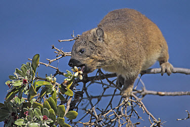 Rock Hyrax (Procavia capensis) adult feeding in tree, South Africa  -  Jurgen and Christine Sohns/ FLPA