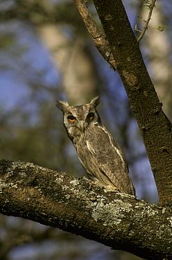 White-faced Scops Owl (Otus leucotis) Kenya  -  David Hosking/ FLPA