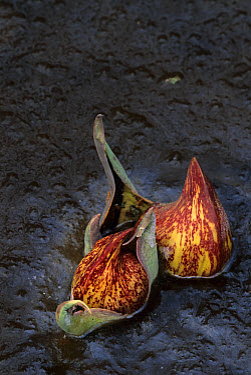 Skunk-cabbage (Symplocarpus foetidus) in ice, Michigan, U.S.A., winter  -  Larry West/ FLPA