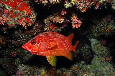 Sabre Squirrelfish (Sargocentron spiniferum) in coral reef, Maldives  -  Malcolm Schuyl/ FLPA