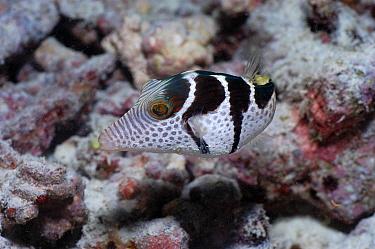 Black Saddled Toby (Canthigaster valentini) in coral reef, Maldives  -  Malcolm Schuyl/ FLPA