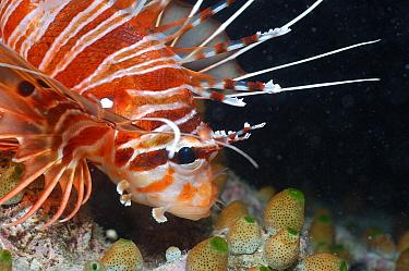 Spotfin Lionfish (Pterois antennata) Close-up of head, Maldives  -  Malcolm Schuyl/ FLPA