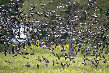 Brazilian Teal (Amazonetta brasiliensis) flock taking off, in flight, Pantanal wetland, Brazil  -  Fritz Polking/ FLPA