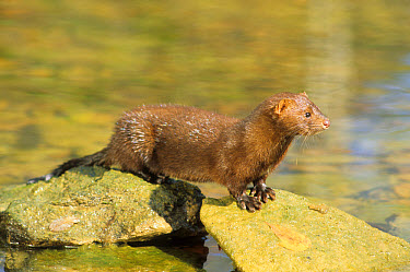Mink (Mustela vison) standing on rock in stream, Ohio  -  S & D & K Maslowski/ FLPA